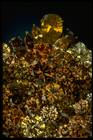 Close-up photograph of the Wilkinson yellow diamond brooch (NMNH G7106)