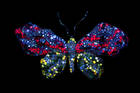 Cindy Chao Butterfly Brooch Back, under UV Light. Cindy Chao Black Label Masterpiece Royal Butterfly Brooch created in 2009 and was donated to the museum by Cindy Chao the artist in 2012.  Composed of 2,328 gems, totals 77 carats. The brooch is set with fancy-colored and color-changing sapphires and diamonds, rubies and tsavorite garnets. The centerpieces of the butterfly's wings are four large-faceted diamond slices stacked atop a pave layer of faceted diamonds, creating a pattern resembling the microstructure and scale of a living butterfly's wings. Collection Number G10656
