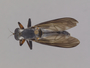 Michotamia nigra Scarbrough & Hill, 2000