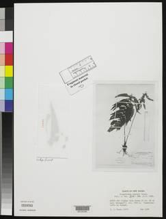 Image of Polystichum brassii