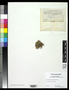 Pseudocyphellaria amphistictoides image