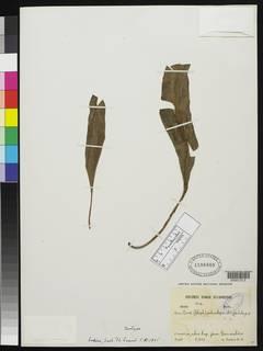 Image of Elaphoglossum actinolepis