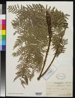 Image of Polystichum australium