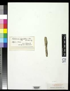 Image of Thelotrema cinerellum