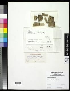 Image of Thelotrema confusum