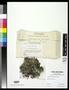 Cladonia caroliniana f. dilatata image