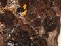 Acarospora badiofusca image