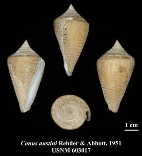 Image of Conus austini