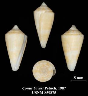 Image of Conus bayeri