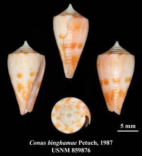 Image of Conus binghamae