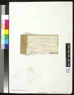 Image of Bulbothrix papyrina