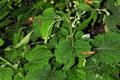 Asteraceae - Adenocaulon himalaicum (he shang cai)