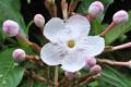 Rubiaceae - Luculia pinceana (dian ding xiang)