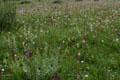 Scrophulariaceae - Pedicularis anas (ya shou ma xian hao)