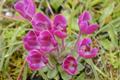 Scrophulariaceae - Pedicularis bella (mei li ma xian hao)
