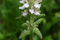 Scrophulariaceae - Pedicularis brevilabris (duan chun ma xian hao)