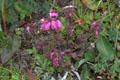 Scrophulariaceae - Pedicularis confertiflora (ju hua ma xian hao)
