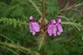 Scrophulariaceae - Pedicularis cyathophylloides (ni dou ye ma xian hao)