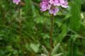Scrophulariaceae - Pedicularis verticillata (lun ye ma xian hao; whorled lousewort)