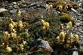 Papaveraceae - Corydalis conspersa (ban hua huang jin)