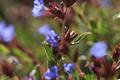 Plumbaginaceae - Ceratostigma minus (xiao lan xue hua)