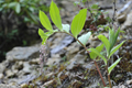 Liliaceae - Maianthemum atropurpureum (gao da lu yao)