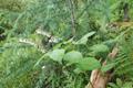 Liliaceae - Maianthemum henryi (guan hua lu yao)