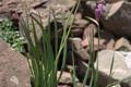 Liliaceae - Allium forrestii (suo sha jiu)