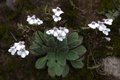 Gesneriaceae - Corallodiscus lanuginosus (xi zang shan hu ju tai)