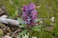 Lamiaceae - Ajuga lupulina (bai bao jin gu cao)