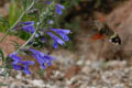 Lamiaceae - Dracocephalum tanguticum (gan qing qing lan)