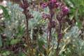 Scrophulariaceae - Pedicularis trichoglossa (mao kui ma xian hao)