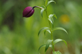 Liliaceae - Lilium souliei (zi hua bai he)