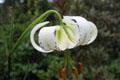 Liliaceae - Lilium taliense (da li bai he)