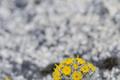 Asteraceae - Ajania tenuifolia (xi lie ya ju)