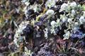 Asteraceae - Ajania variifolia (yi ye ya ju)