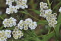 Asteraceae - Anaphalis busua (zhu mao xiang qing)