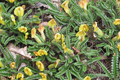 Fabaceae - Chesneya nubigena (yun wu que er dou)