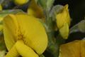 Fabaceae - Piptanthus nepalensis (huang hua mu)