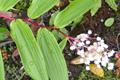 Liliaceae - Maianthemum oleraceum (chang zhu lu yao)