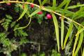 Liliaceae - Polygonatum cirrhifolium (juan ye huang jing)