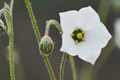 Campanulaceae - Codonopsis canescens (hui mao dang shen)
