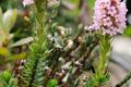 Ericaceae - Diplarche multiflora (duo hua shan ye du juan)