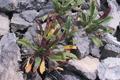 Brassicaceae - Erysimum funiculosum (zi hua tang jie)