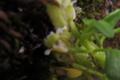 Brassicaceae - Eutrema altaicum (a er tai shan yu cai)