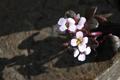 Brassicaceae - Eutrema hookeri (Hu shi shan yu cai)