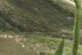 Brassicaceae - Parrya nudicaulis (luo jing tiao guo jie; nakedstem wallflower)