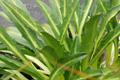 Brassicaceae - Pegaeophyton scapiflorum subsp. robustum (cu zhuang dan hua ji)