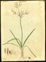 Cyperaceae - Cyperus rotundus