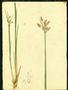 Cyperaceae - Fimbristylis ferruginea